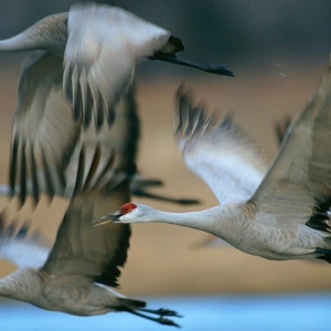 Alabama Almost Lost Its Sandhill Cranes. Now,