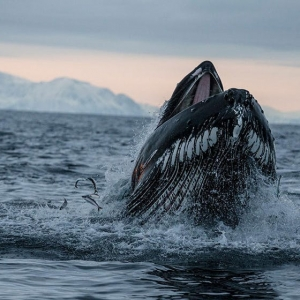 Humpback Whales Herd Salmon With Their Fins, New Photos Reveal